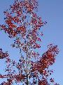 red tree blue sky